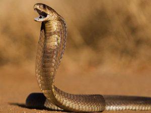 donde vive la cobra