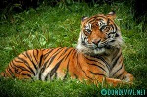 tigre hembra