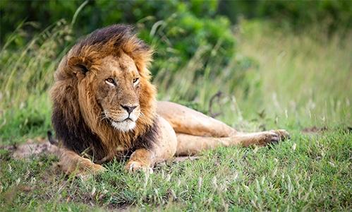 habitat del león