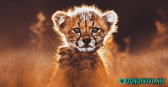 donde vive el guepardo